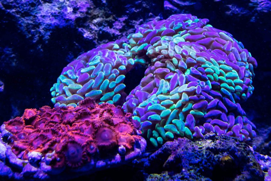 500 Gallon Living Reef - Bi-color Hammer